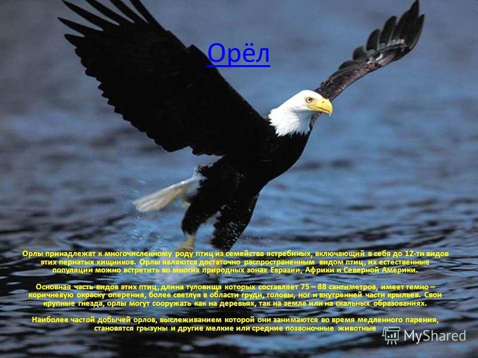 Орёл Орлы принадлежат к многочисленному роду птиц из семейства ястребиных, включающий в себя до 12-ти видов этих пернатых хищников. Орлы являются достаточно распространенным видом птиц, их естественные популяции можно встретить во многих природных зо