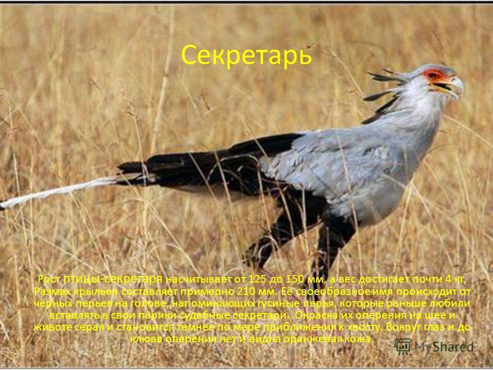 Секретарь Рост птицы-секретаря насчитывает от 125 до 150 мм, а вес достигает почти 4 кг. Размах крыльев составляет примерно 210 мм. Её своеобразное имя происходит от чёрных перьев на голове, напоминающих гусиные перья, которые раньше любили вставлять