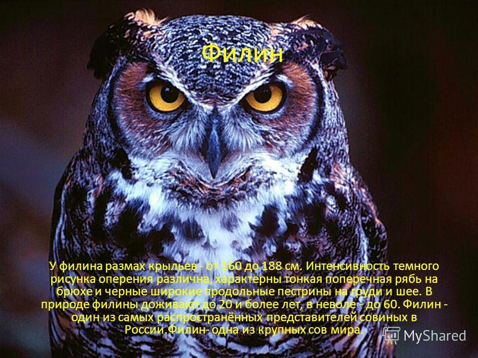 Филин У филина размах крыльев - от 160 до 188 см. Интенсивность темного рисунка оперения различна, характерны тонкая поперечная рябь на брюхе и черные широкие продольные пестрины на груди и шее. В природе филины доживают до 20 и более лет, в неволе -