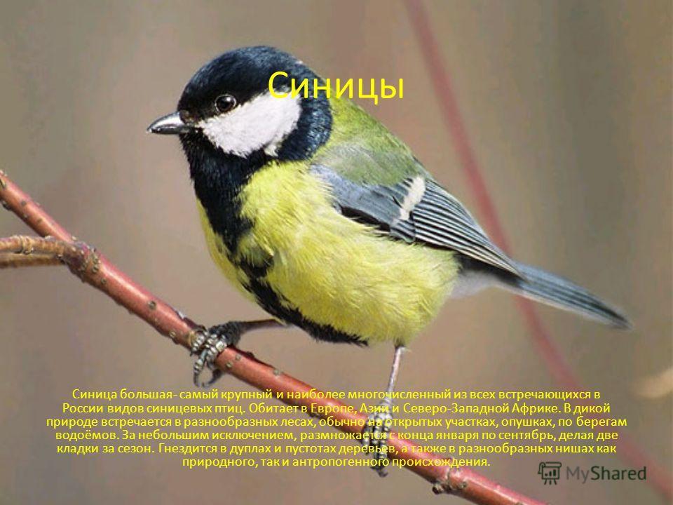 Синицы Синица большая- самый крупный и наиболее многочисленный из всех встречающихся в России видов синицевых птиц. Обитает в Европе, Азии и Северо-Западной Африке. В дикой природе встречается в разнообразных лесах, обычно на открытых участках, опушк