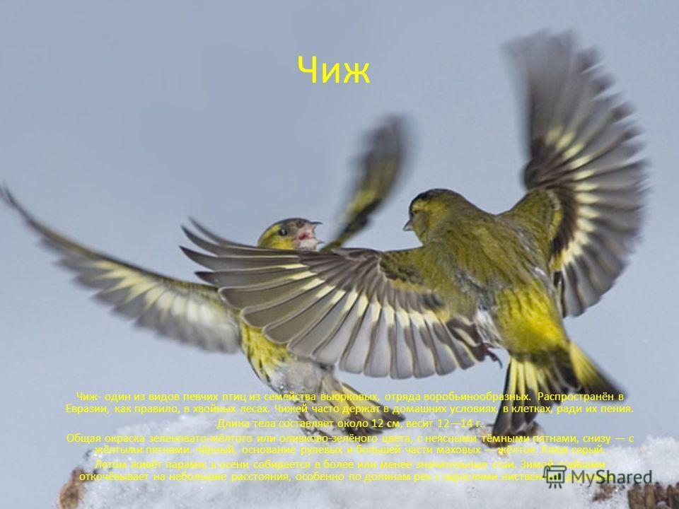 Чиж Чиж- один из видов певчих птиц из семейства вьюрковых, отряда воробьинообразных. Распространён в Евразии, как правило, в хвойных лесах. Чижей часто держат в домашних условиях, в клетках, ради их пения. Длина тела составляет около 12 см, весит 121