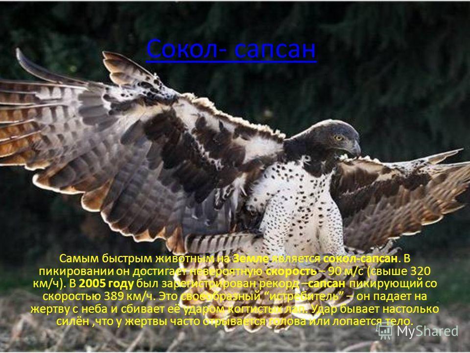 Сокол- сапсан Самым быстрым животным на Земле является сокол-сапсан. В пикировании он достигает невероятную скорость – 90 м/с (свыше 320 км/ч). В 2005 году был зарегистрирован рекорд –сапсан пикирующий со скоростью 389 км/ч. Это своеобразный истребит