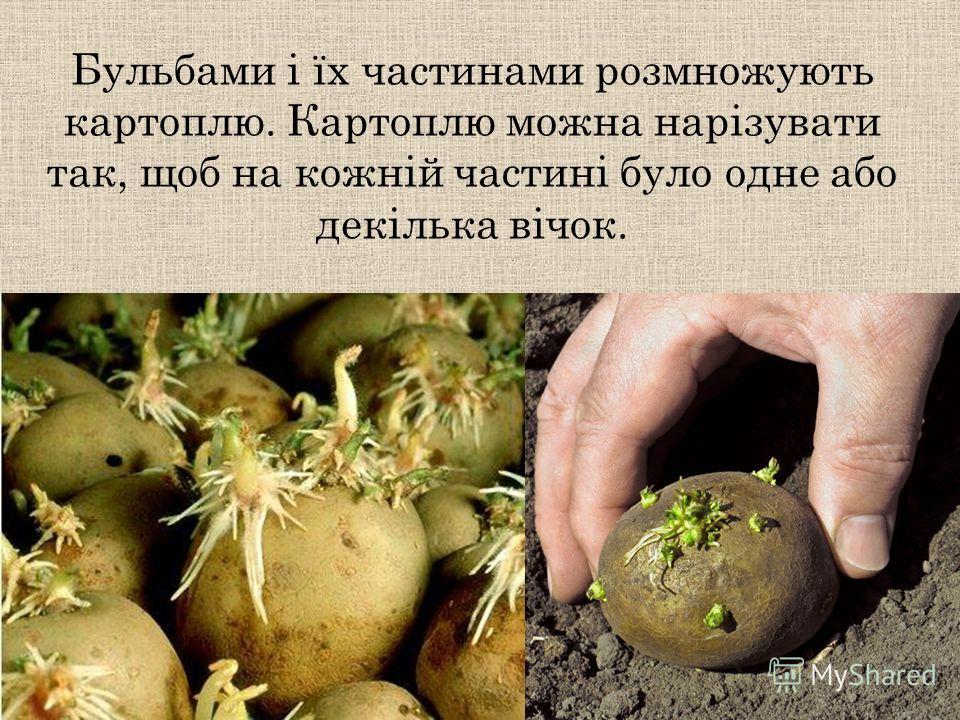 Бульбами і їх частинами розмножують картоплю. Картоплю можно нарізувати так, щоб на кожній частині было одно обо декілька вічок.
