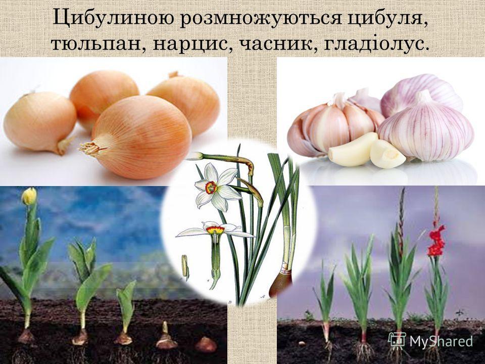 Цибулиною розмножуються цибуля, тюльпан, нарцисс, частник, гладіолус.