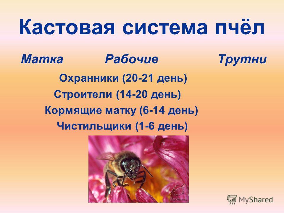 Кастовая система пчёл Матка Рабочие Трутни Охранники (20-21 день) Строители (14-20 день) Кормящие матку (6-14 день) Чистильщики (1-6 день)