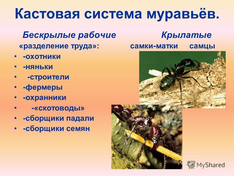 Кастовая система муравьёв. Бескрылые рабочие Крылатые «разделение труда»: самки-матки самцы -охотники -няньки -строители -фермеры -охранники -«скотоводы» -сборщики падали -сборщики семян