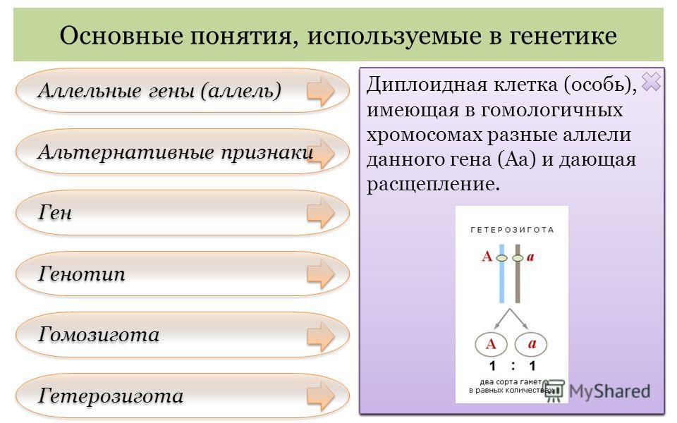 Аллельные гены (аллель) Основные понятия, используемые в генетике Альтернативные признаки Ген Генотип Гомозигота Гетерозигота Пара генов (А – а), расположенных в одних и тех же локусах гомологичных хромосом и контролирующих развитие альтернативных пр