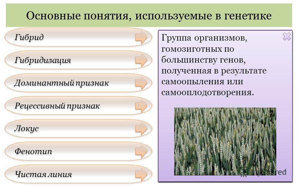 Основные понятия, используемые в генетике Фенотип Чистая линия Гибрид Гибридизация Доминантный признак Рецессивный признак Локус Организм, полученный от скрещивания генетически различающихся форм. Естественное или искусственное скрещивание особей, от