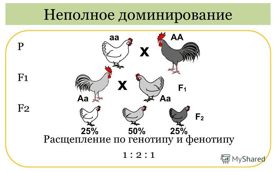 Р F1 F2 Расщепление по генотипу и фенотипу 1 : 2 : 1 Неполное доминирование