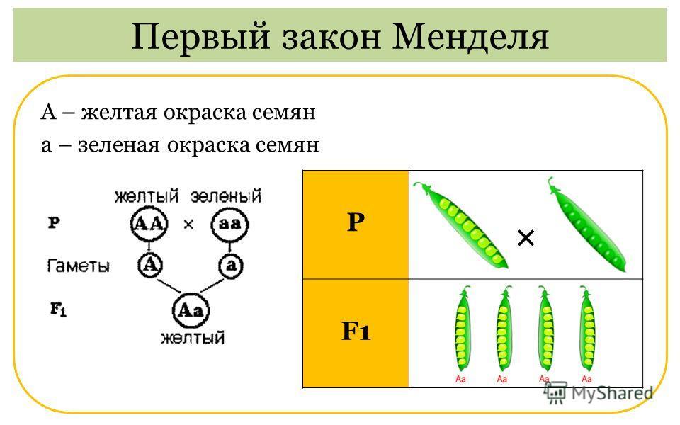 А – желтая окраска семян а – зеленая окраска семян Первый закон Менделя Р × F1