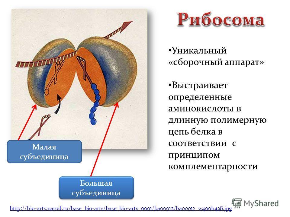Малая субъединица Большая субъединица Уникальный «сборочный аппарат» Выстраивает определенные аминокислоты в длинную полимерную цепь белка в соответствии с принципом комплементарности http://bio-arts.narod.ru/base_bio-arts/base_bio-arts_0001/ba00012/
