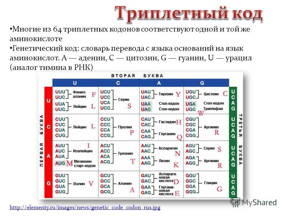 Многие из 64 триплетных кодонов соответствуют одной и той же аминокислоте Генетический код: словарь перевода с языка оснований на язык аминокислот. A аденин, C цитозин, G гуанин, U урацил (аналог тимина в РНК) http://elementy.ru/images/news/genetic_c