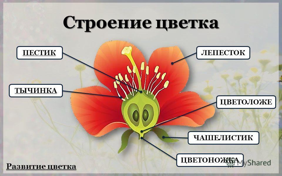 Строение цветка ЦВЕТОНОЖКА ЦВЕТОЛОЖЕЧАШЕЛИСТИКЛЕПЕСТОКПЕСТИКТЫЧИНКА Развитие цветка
