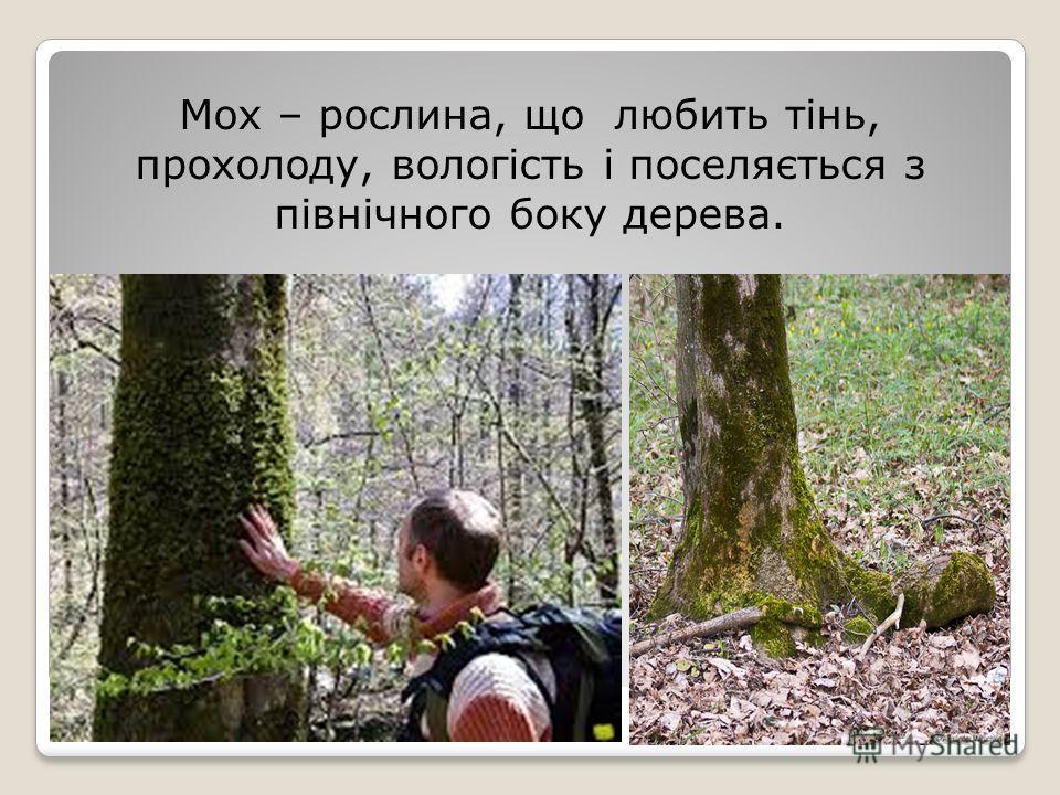 Мох – рослина, що любить тінь, прохладу, вологість і поселяється з північного поку дерева.