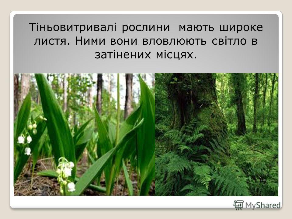 Тіньовитривалі рослини мають широкие листья. Ними вони вловлюють світло в затінених місцях.