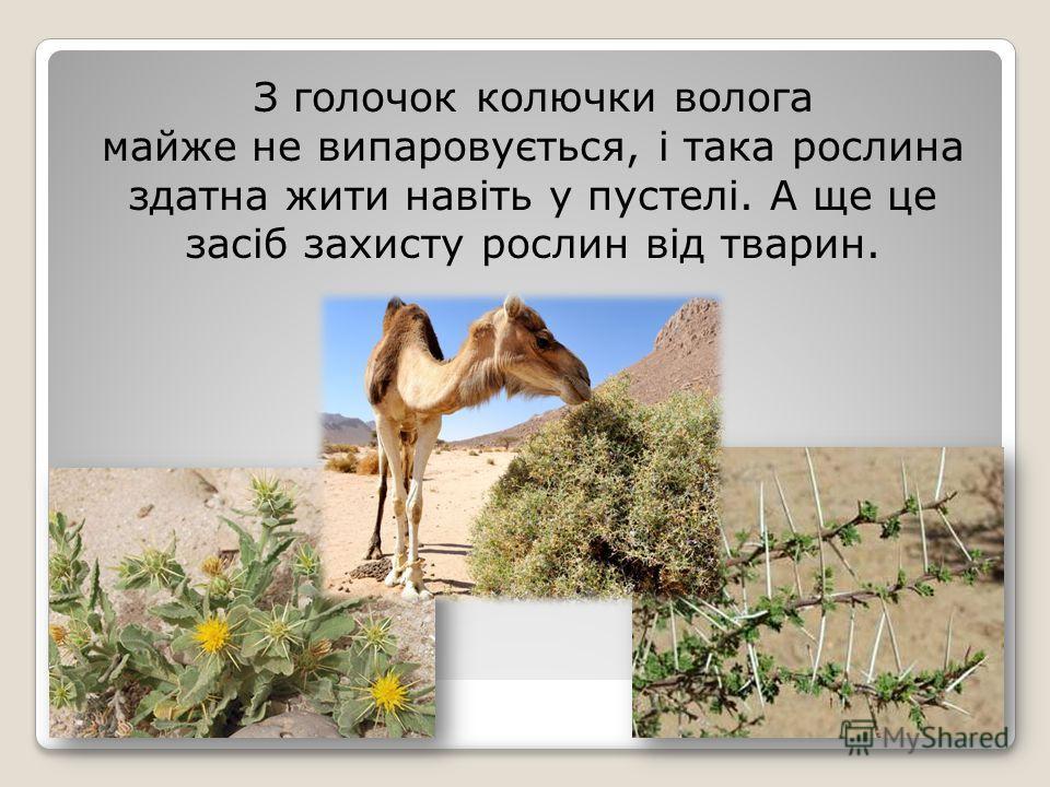 З галочек колючки волга майже не випаровується, і така рослина здатна жити навіть у пустелі. А ще це засіб захисту рослин від тварин.