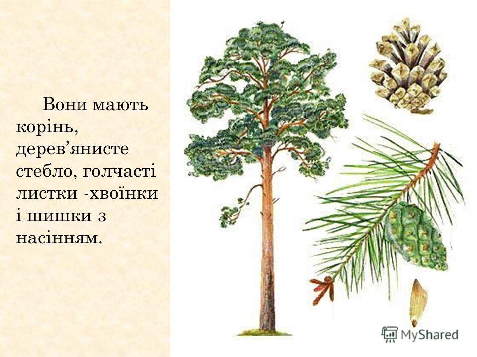 Вони мають корінь, деревянистые стебло, голчасті листки -хвоїнки і шишки з насінням.