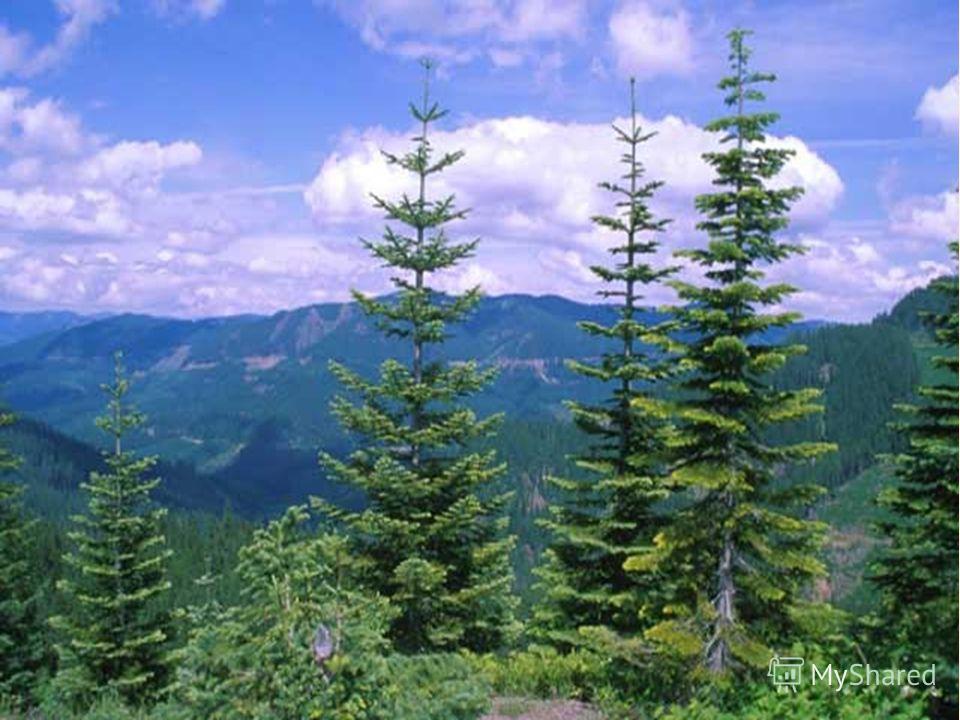 Відгадайте загадку: А це дерево з пухнастими гілками й тонкими короткими голками.