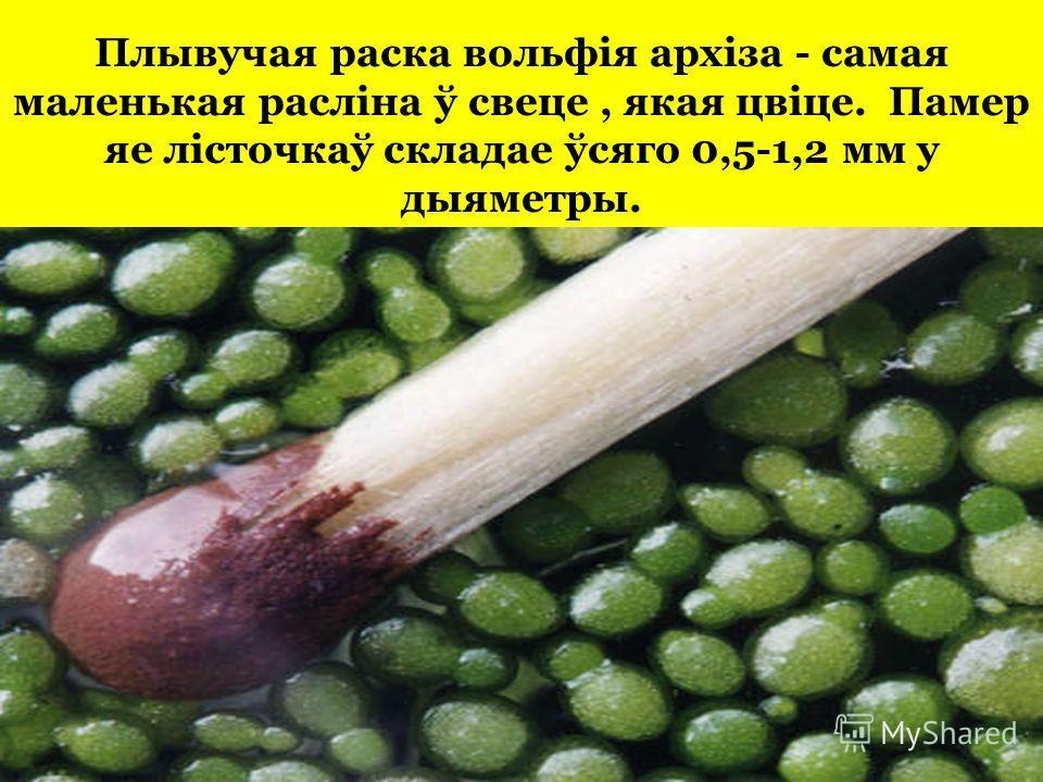 Плывучая краска вольфія архіза - самая маленькая расліна ў свеце, якая цвіце. Памер яе лісточкаў складае ўсяго 0,5-1,2 мм у дыяметры.
