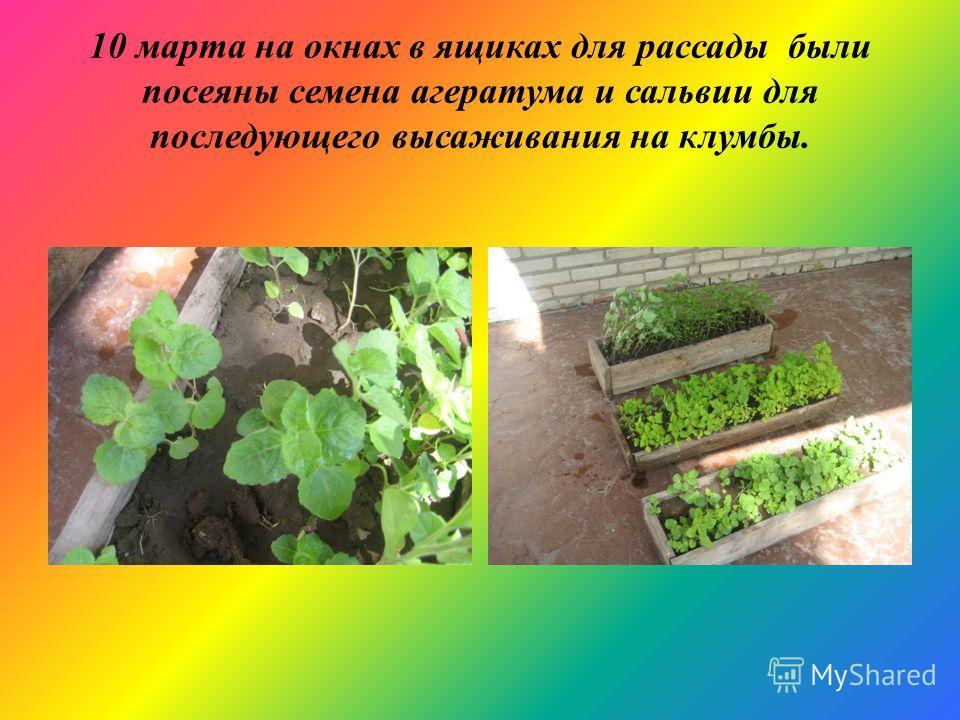 10 марта на окнах в ящиках для рассады были посеяны семена агератума и сальвии для последующего высаживания на клумбы.