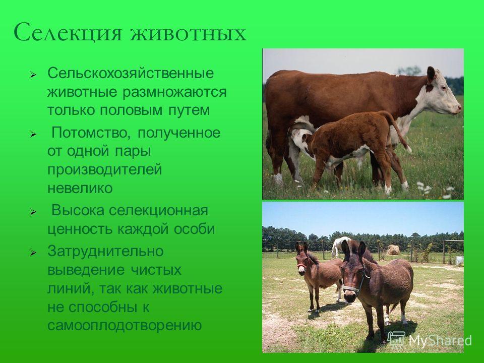 Селекция животных Сельскохозяйственные животные размножаются только половым путем Потомство, полученное от одной пары производителей невелико Высока селекционная ценность каждой особи Затруднительно выведение чистых линий, так как животные не способн