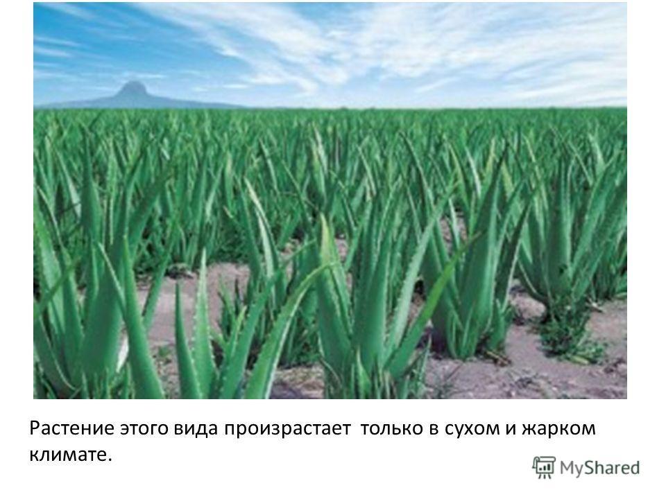 Растение этого вида произрастает только в сухом и жарком климате.