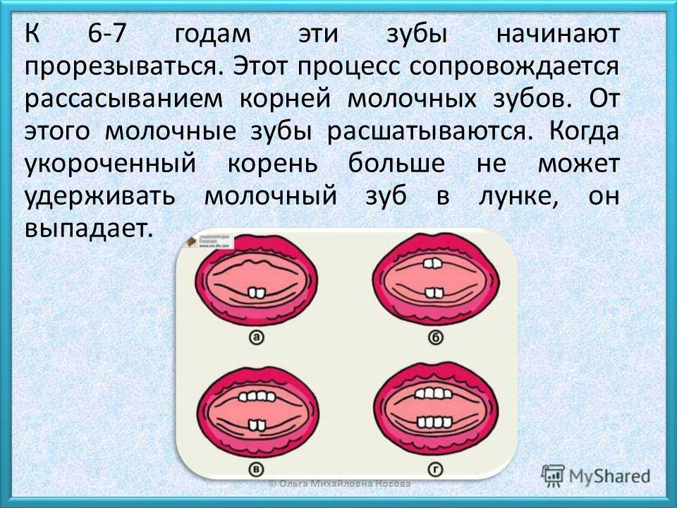 © Ольга Михайловна Носова К 6-7 годам эти зубы начинают прорезываться. Этот процесс сопровождается рассасыванием корней молочных зубов. От этого молочные зубы расшатываются. Когда укороченный корень больше не может удерживать молочный зуб в лунке, он