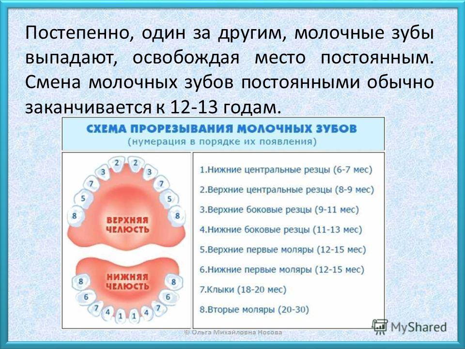 © Ольга Михайловна Носова Постепенно, один за другим, молочные зубы выпадают, освобождая место постоянным. Смена молочных зубов постоянными обычно заканчивается к 12-13 годам.