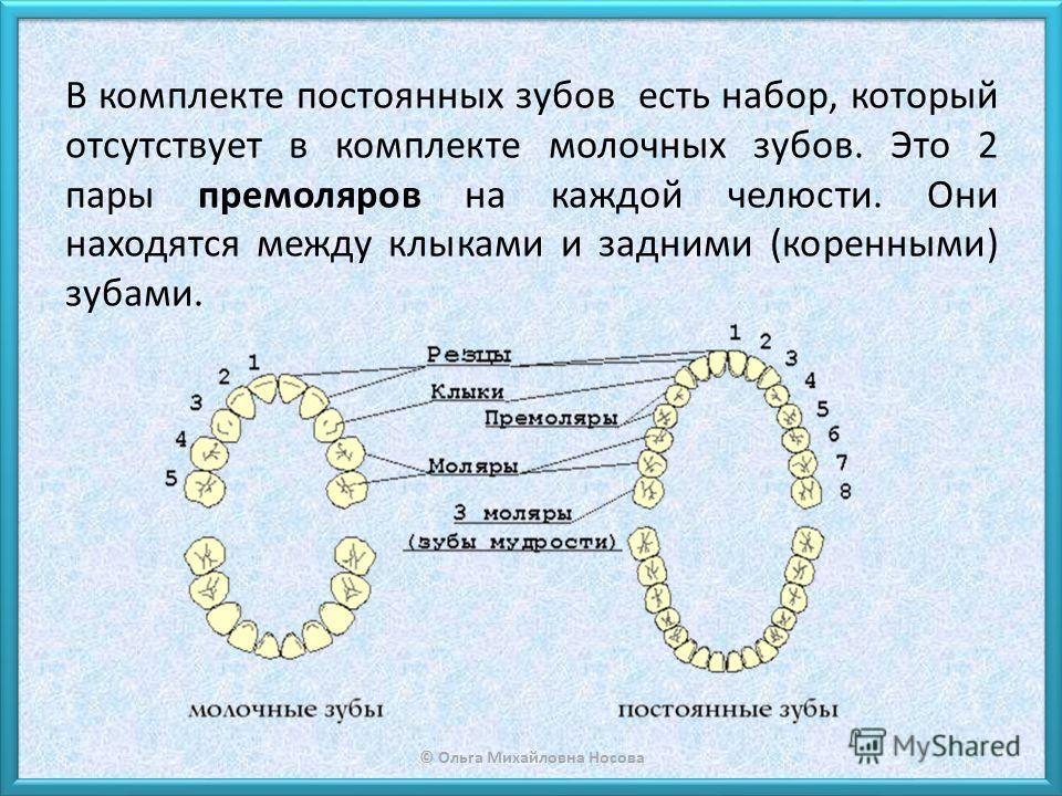 © Ольга Михайловна Носова В комплекте постоянных зубов есть набор, который отсутствует в комплекте молочных зубов. Это 2 пары премоляров на каждой челюсти. Они находятся между клыками и задними (коренными) зубами.