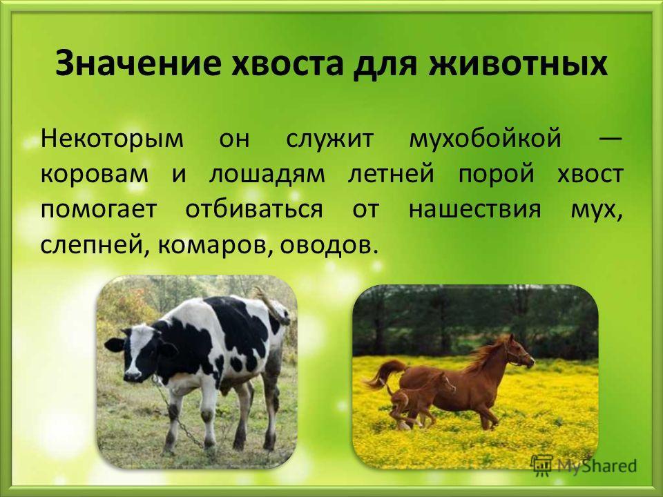 Значение хвоста для животных Некоторым он служит мухобойкой коровам и лошадям летней порой хвост помогает отбиваться от нашествия мух, слепней, комаров, оводов.