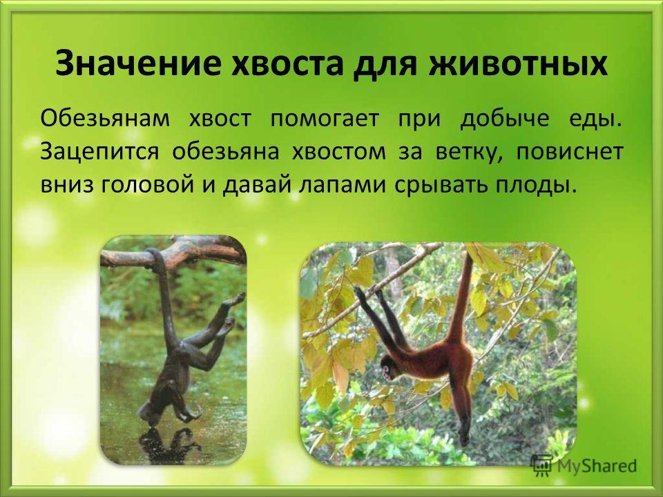 Значение хвоста для животных Обезьянам хвост помогает при добыче еды. Зацепится обезьяна хвостом за ветку, повиснет вниз головой и давай лапами срывать плоды.