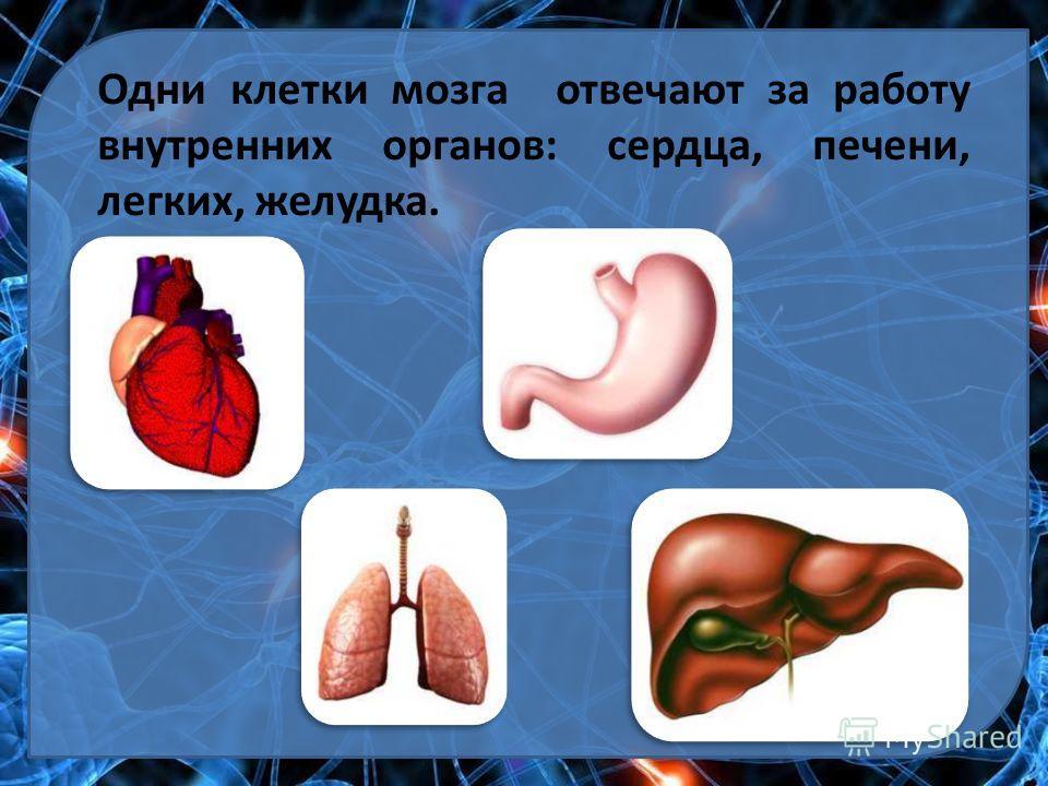 Одни клетки мозга отвечают за работу внутренних органов: сердца, печени, легких, желудка.