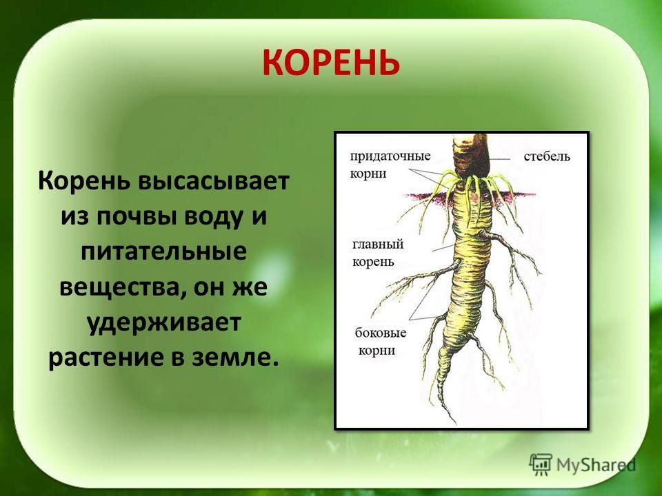КОРЕНЬ Корень высасывает из почвы воду и питательные вещества, он же удерживает растение в земле.
