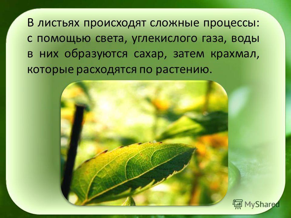 В листьях происходят сложные процессы: с помощью света, углекислого газа, воды в них образуются сахар, затем крахмал, которые расходятся по растению.