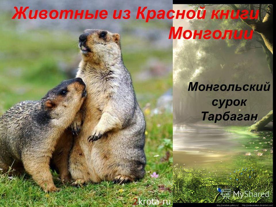 Монгольский сурок Тарбаган Животные из Красной книги Монголии