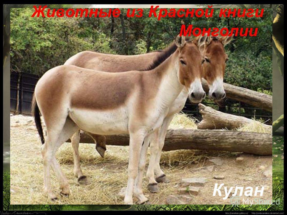 Животные из Красной книги Монголии Кулан