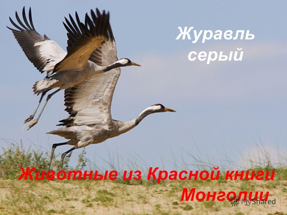 Животные из Красной книги Монголии Журавль серый