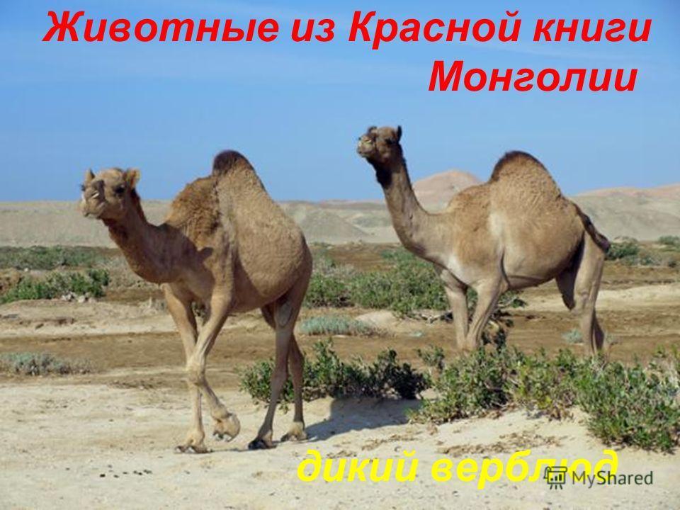 Животные из Красной книги Монголии дикий верблюд