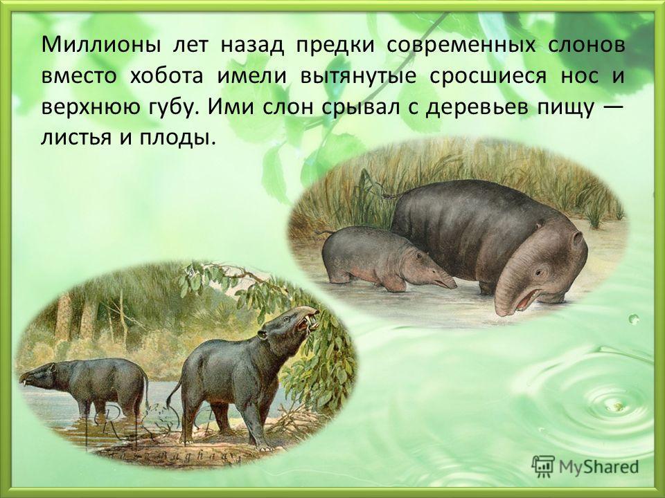 Миллионы лет назад предки современных слонов вместо хобота имели вытянутые сросшиеся нос и верхнюю губу. Ими слон срывал с деревьев пищу листья и плоды.
