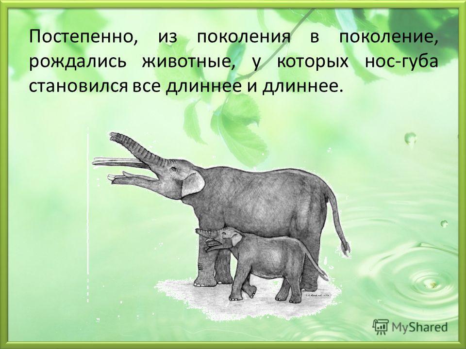Постепенно, из поколения в поколение, рождались животные, у которых нос-губа становился все длиннее и длиннее.