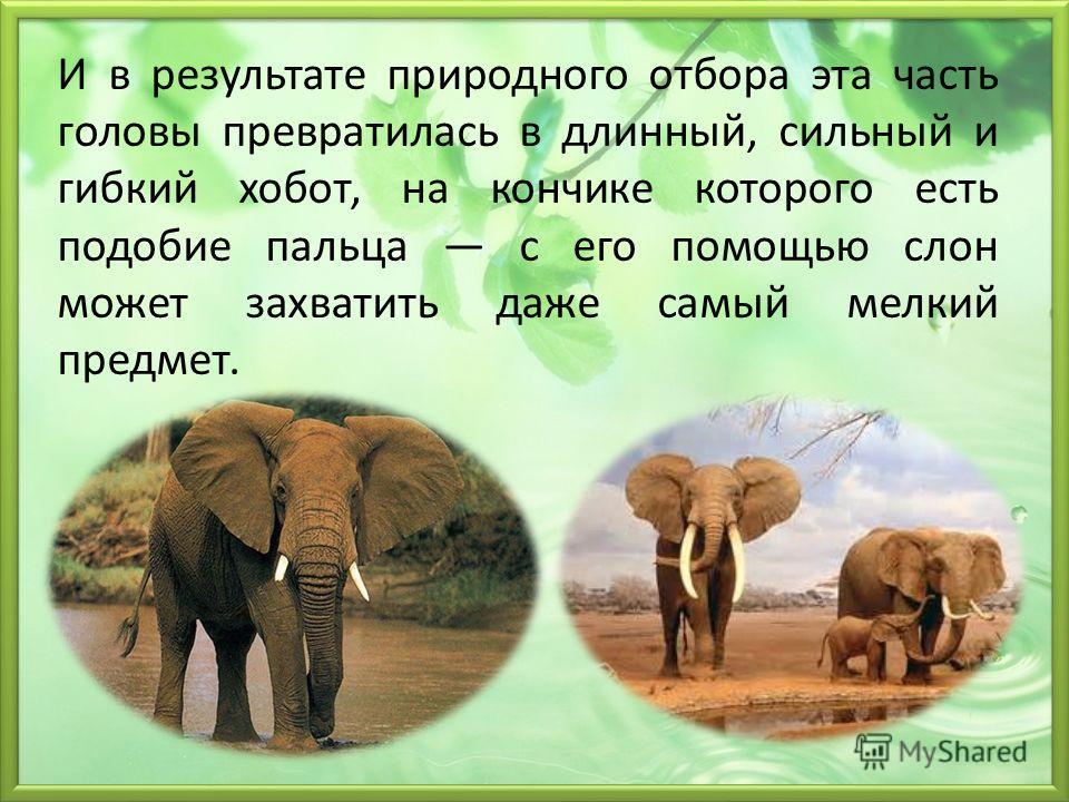 И в результате природного отбора эта часть головы превратилась в длинный, сильный и гибкий хобот, на кончике которого есть подобие пальца с его помощью слон может захватить даже самый мелкий предмет.