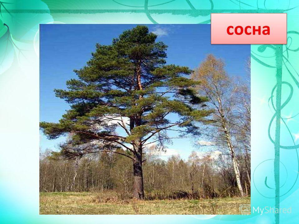 У меня длинней иголки, Чем у елки. Очень прямо я расту В высоту. Если я не на опушке, Ветки – только на макушке. сосна