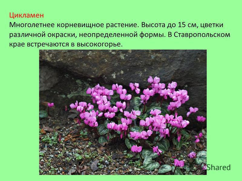 Цикламен Многолетнее корневищное растение. Высота до 15 см, цветки различной окраски, неопределенной формы. В Ставропольском крае встречаются в высокогорье.