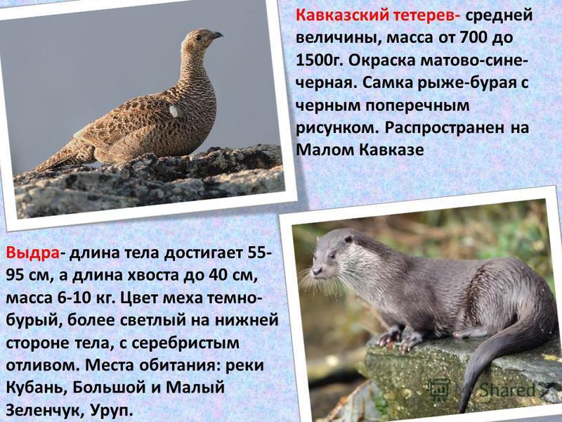 Кавказский тетерев- средней величины, масса от 700 до 1500 г. Окраска матово-сине- черная. Самка рыже-бурая с черным поперечным рисунком. Распространен на Малом Кавказе Выдра- длина тела достигает 55- 95 см, а длина хвоста до 40 см, масса 6-10 кг. Цв