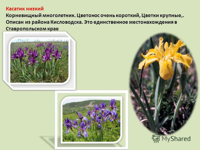 Касатик низкий Корневищный многолетник. Цветонос очень короткий, Цветки крупные,. Описан из района Кисловодска. Это единственное местонахождения в Ставропольском крае