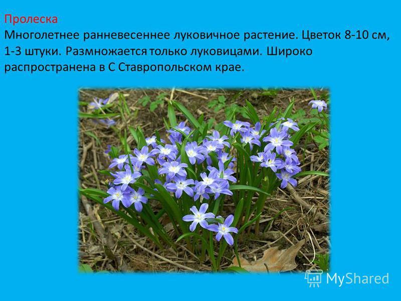 Пролеска Многолетнее ранневесеннее луковичное растение. Цветок 8-10 см, 1-3 штуки. Размножается только луковицами. Широко распространена в С Ставропольском крае.
