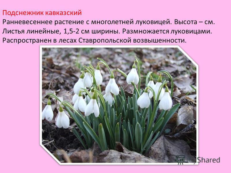 Подснежник кавказский Ранневесеннее растение с многолетней луковицей. Высота – см. Листья линейные, 1,5-2 см ширины. Размножается луковицами. Распространен в лесах Ставропольской возвышенности.