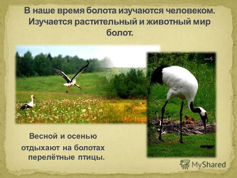 Весной и осенью отдыхают на болотах перелётные птицы.