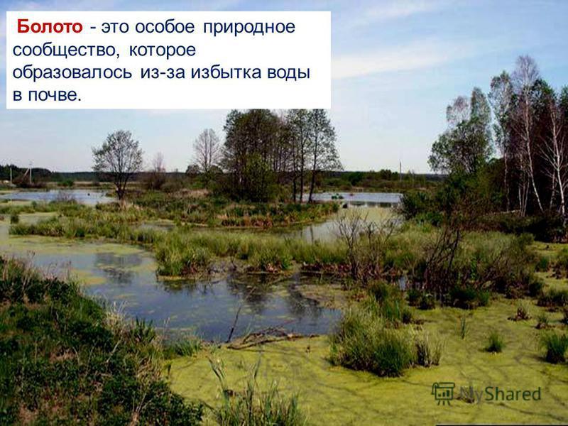 Болото - это особое природное сообщество, которое образовалось из-за избытка воды в почве.