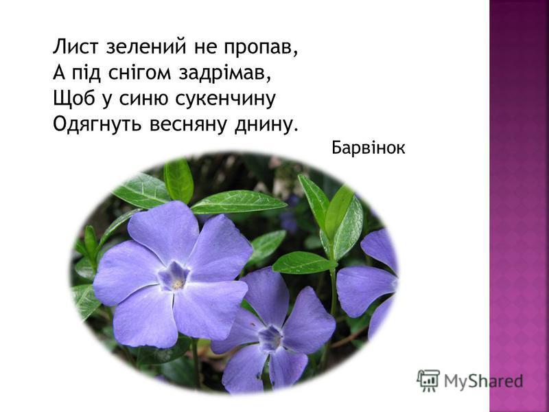 Лист зеленый не пропав, А під снігом задрімав, Щоб у синю сукенчину Одягнуть веснянку дни ну. Барвінок
